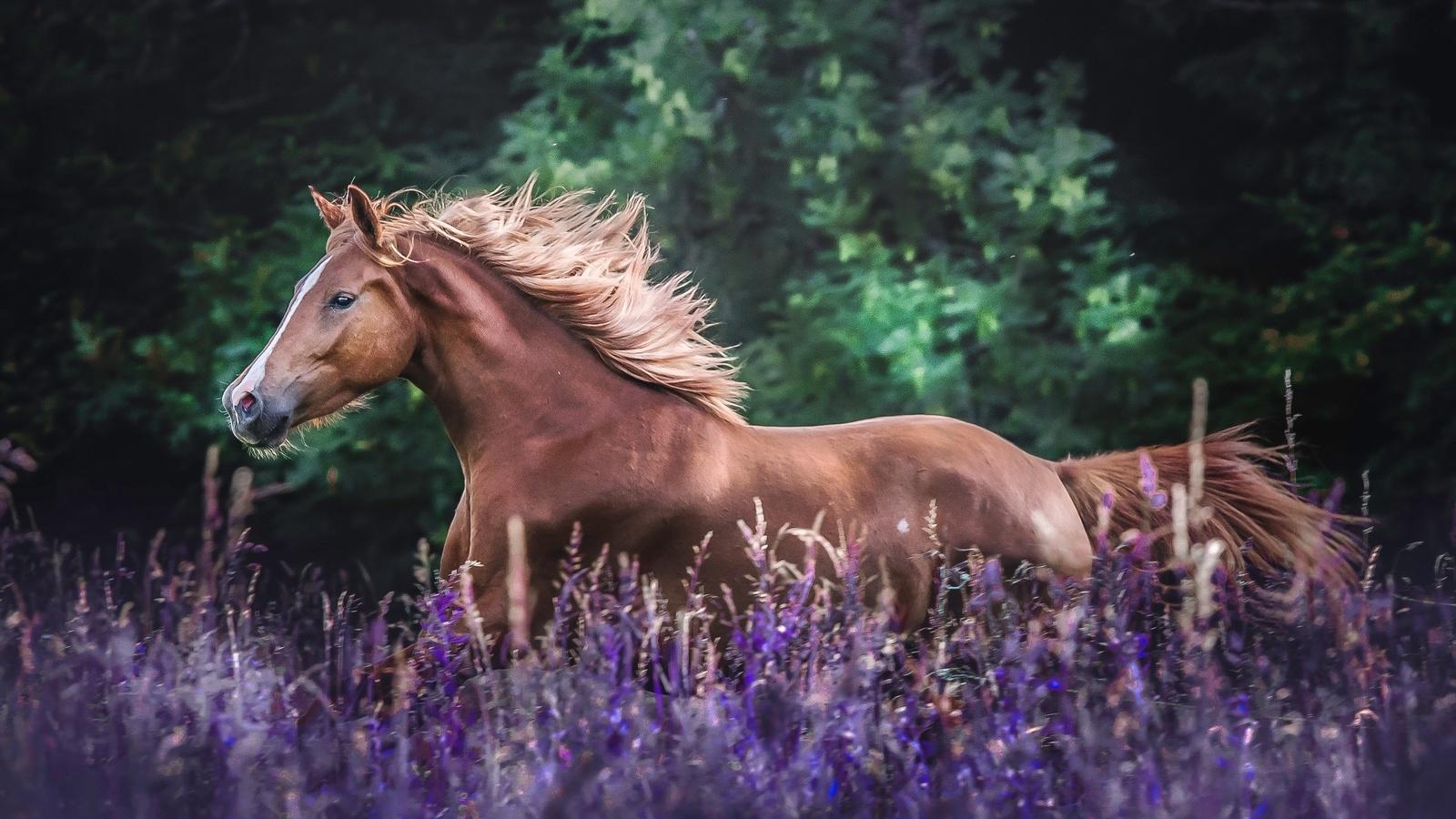лошадь, поле, фиолетовые, лаванда, цветы