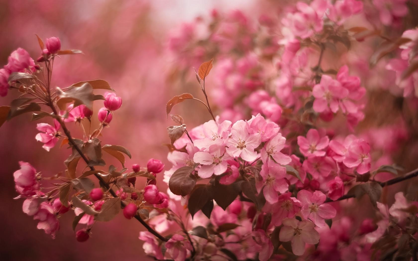 весна, apple, цветение, цветы