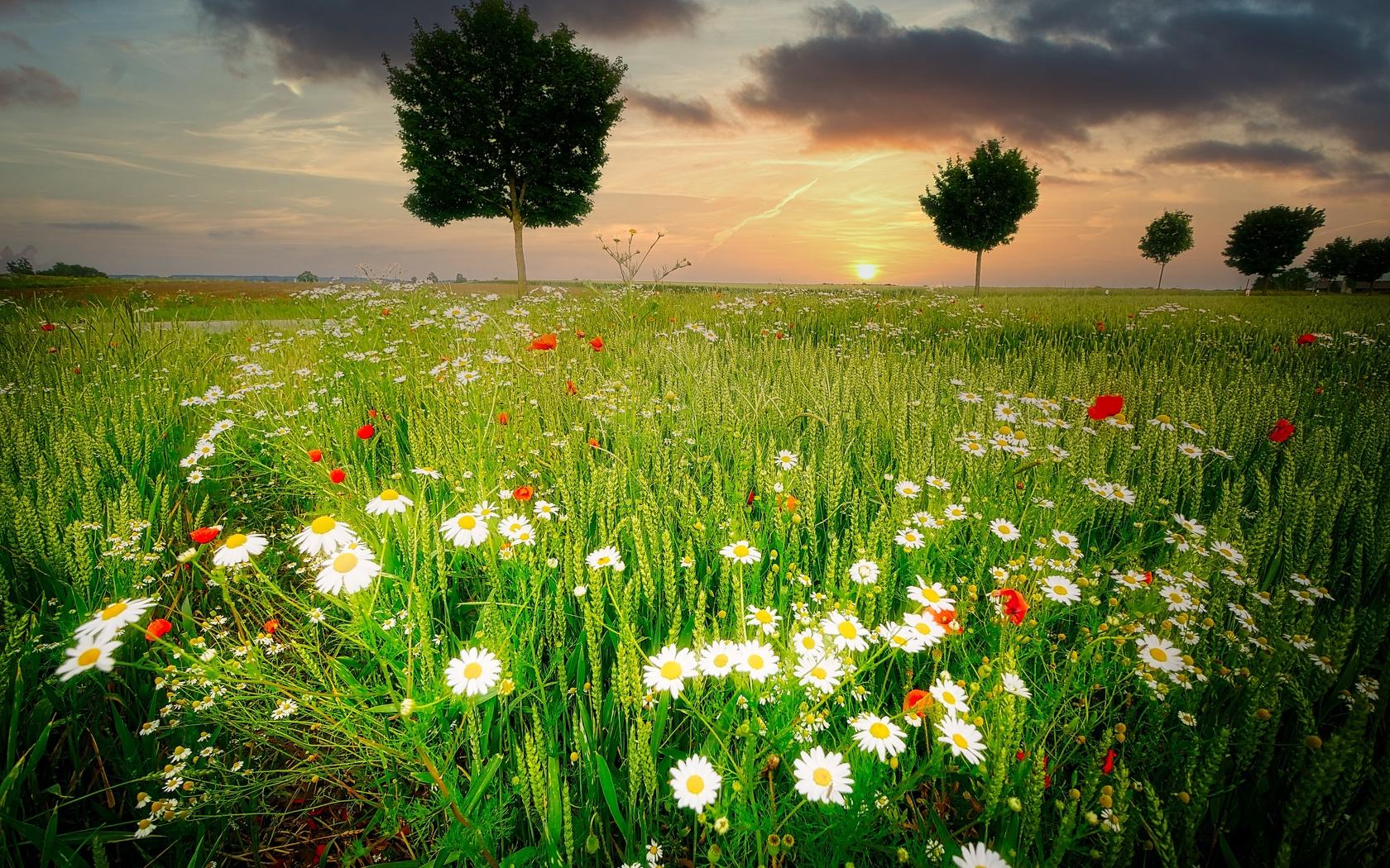 ромашки, цветы, пейзаж, деревья, трава, поле, закат, маки
