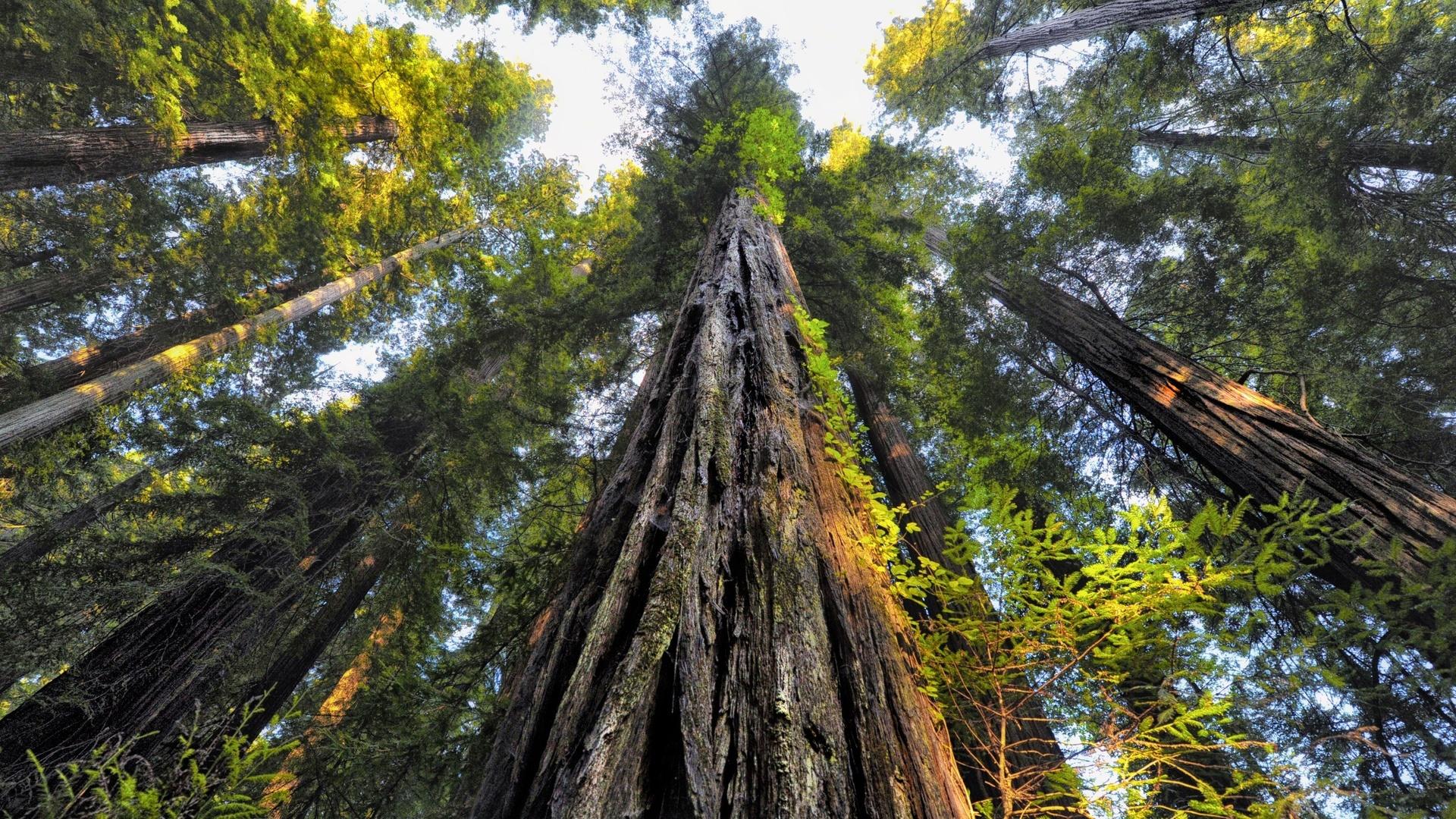 национальный парк, секвойя, вековые деревья, лес, ветви