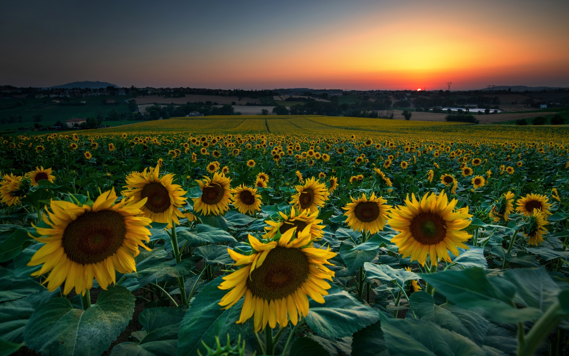 поле, подсолнухи, природа