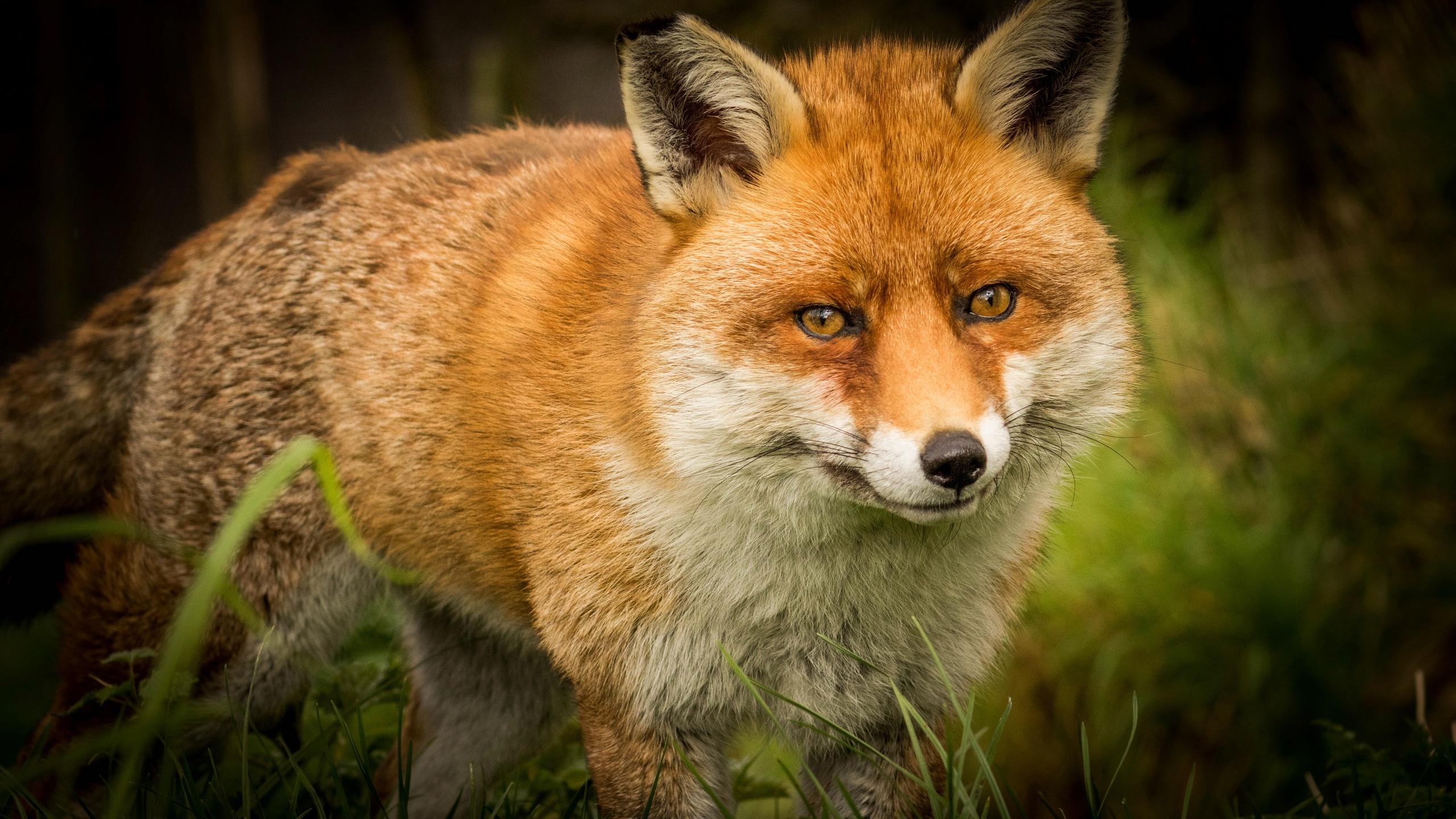 лиса, морда, взгляд, рыжий, животные