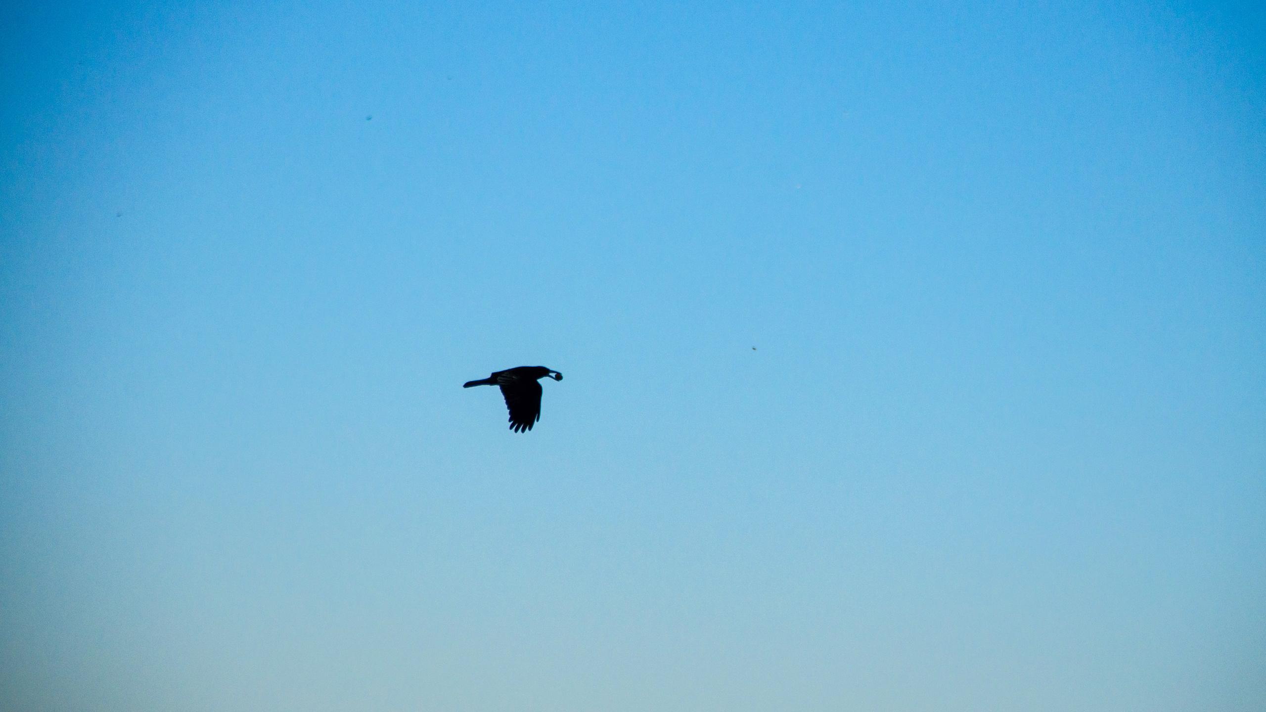ворон, птица