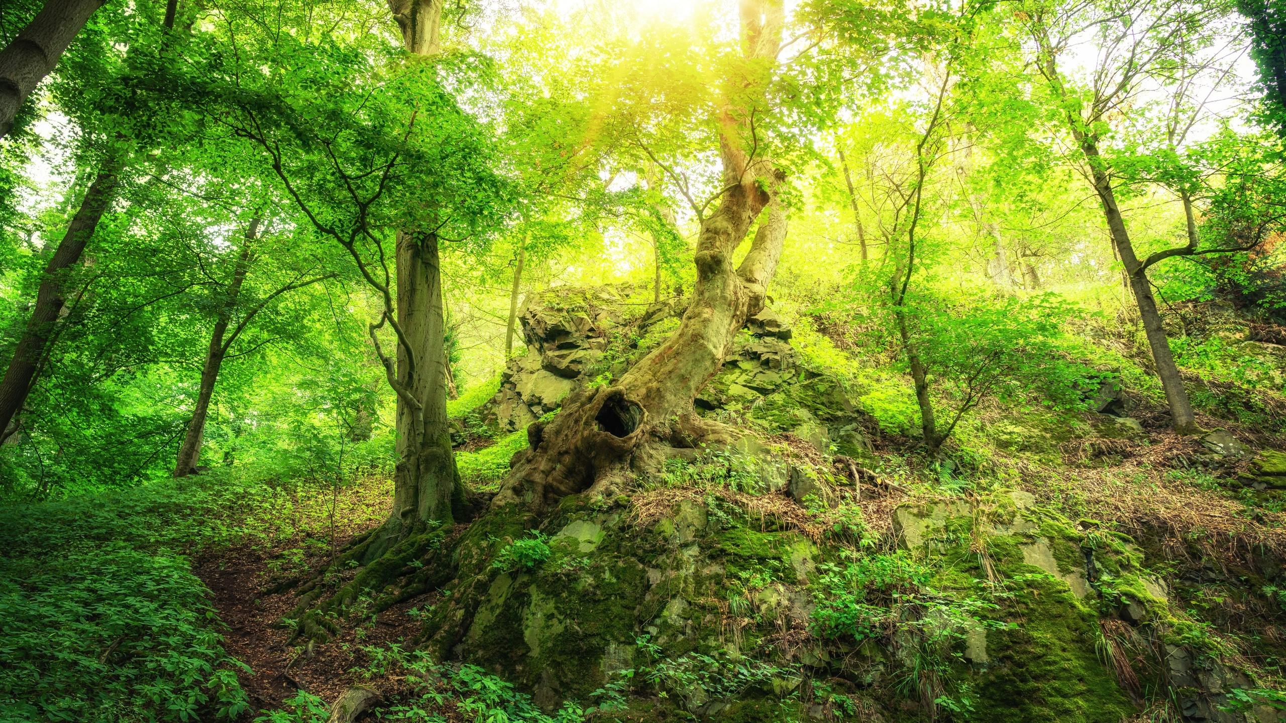 лес, деревья, холм, солнечные лучи, камни, природа