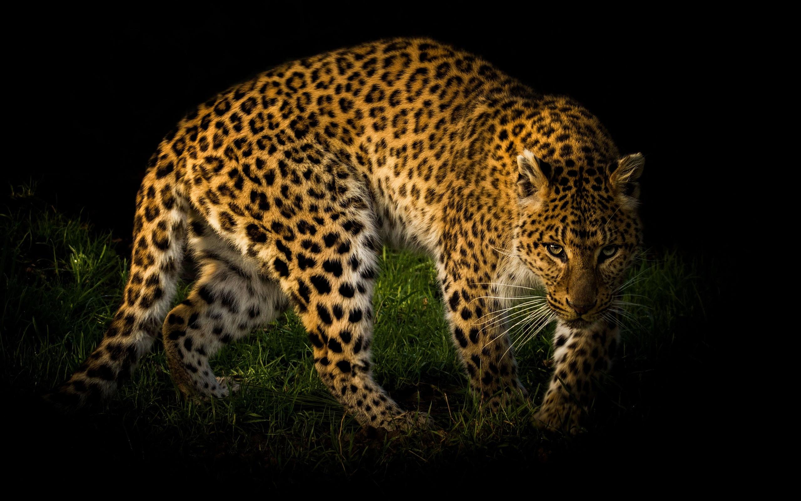 леопард, взгляд, животные