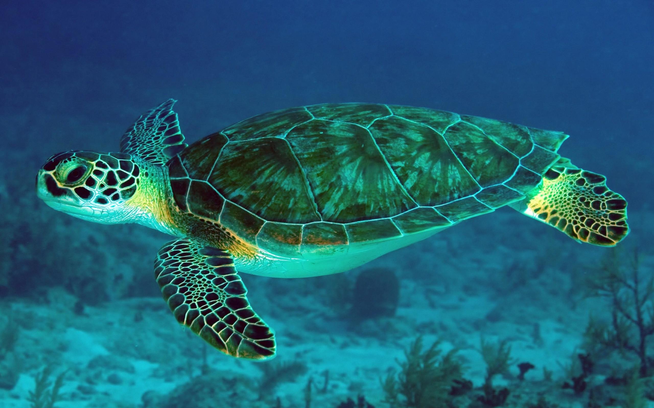 большая, барьерная, риф, Черепаха