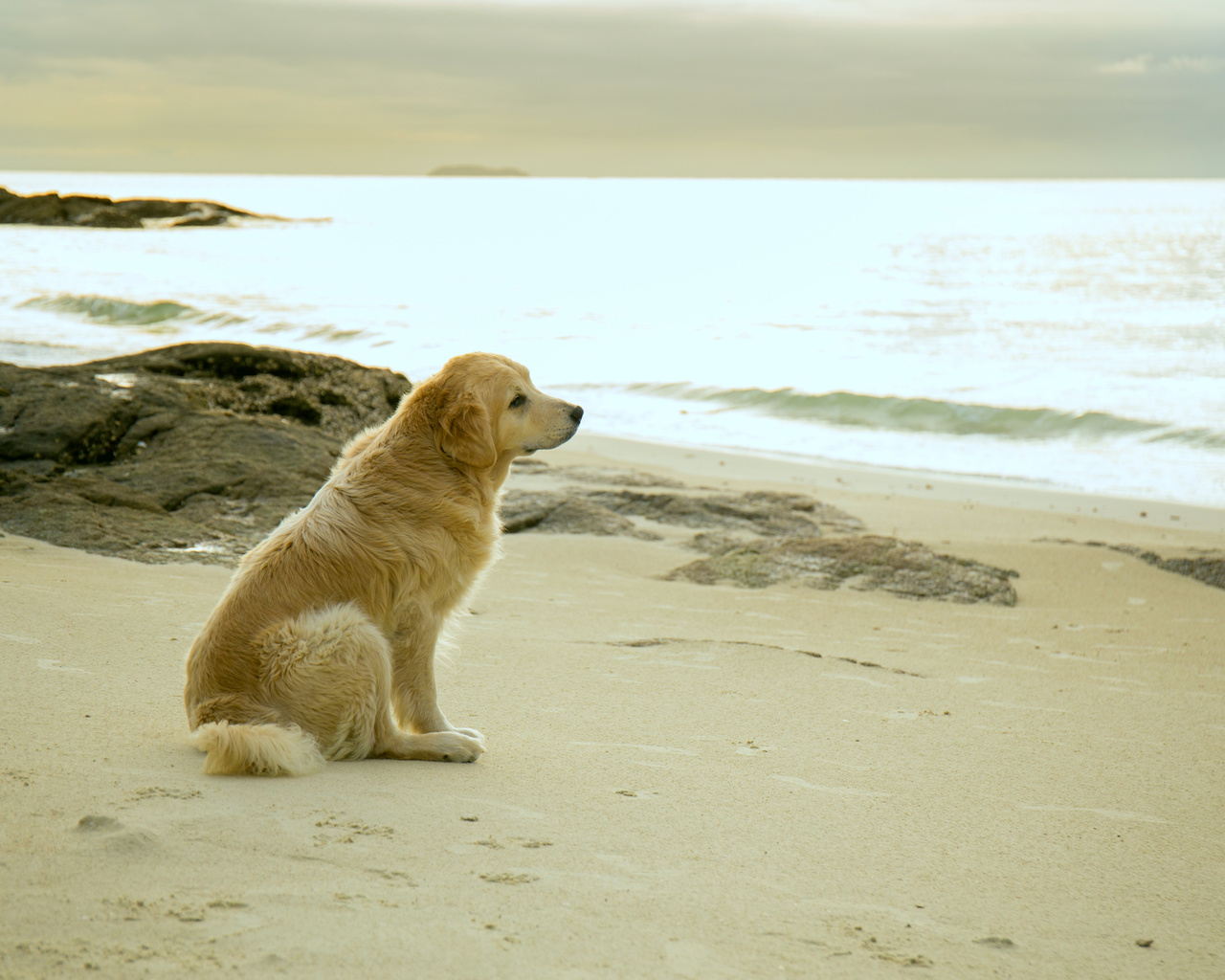 лабрадор, ожидание, берег, океан