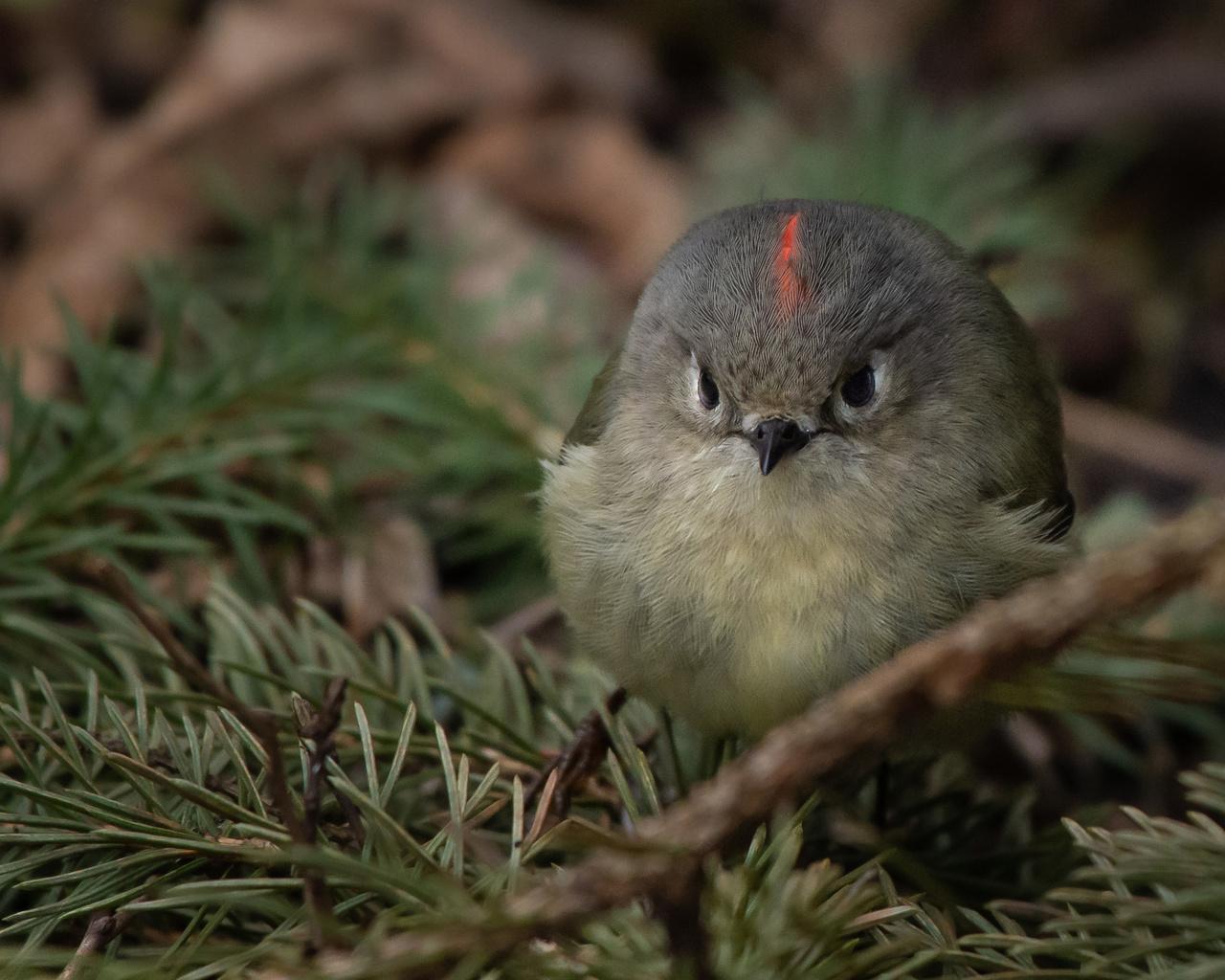 природа, ветки, хвоя, птичка, птицы мира, королёк