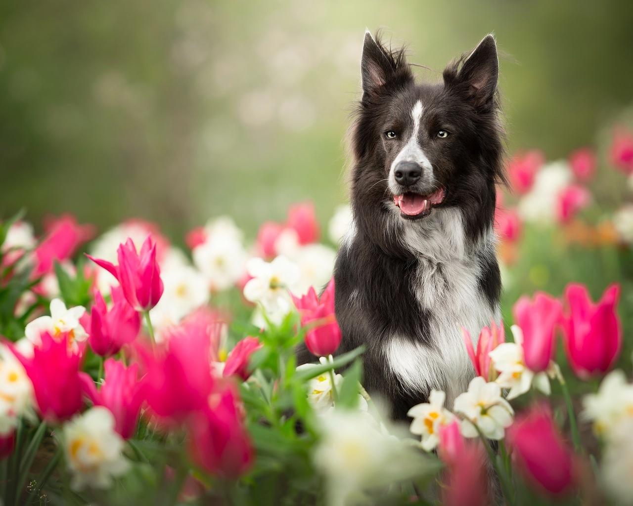 природа, весна, цветы, тюльпаны, нарциссы, животное, собака, пёс, бордер-колли