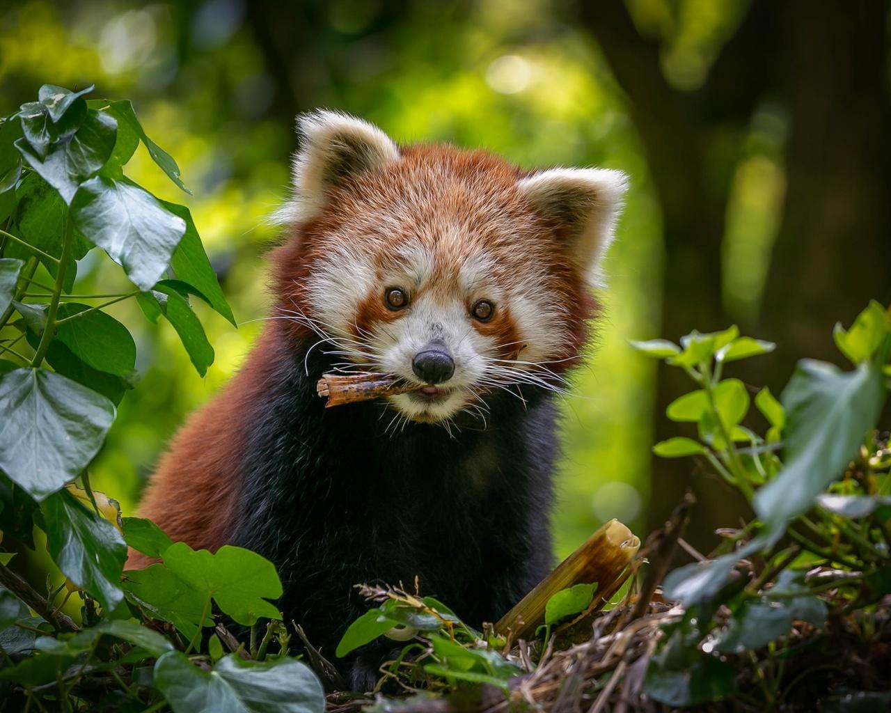 розовая панда, морда, животное, взгляд