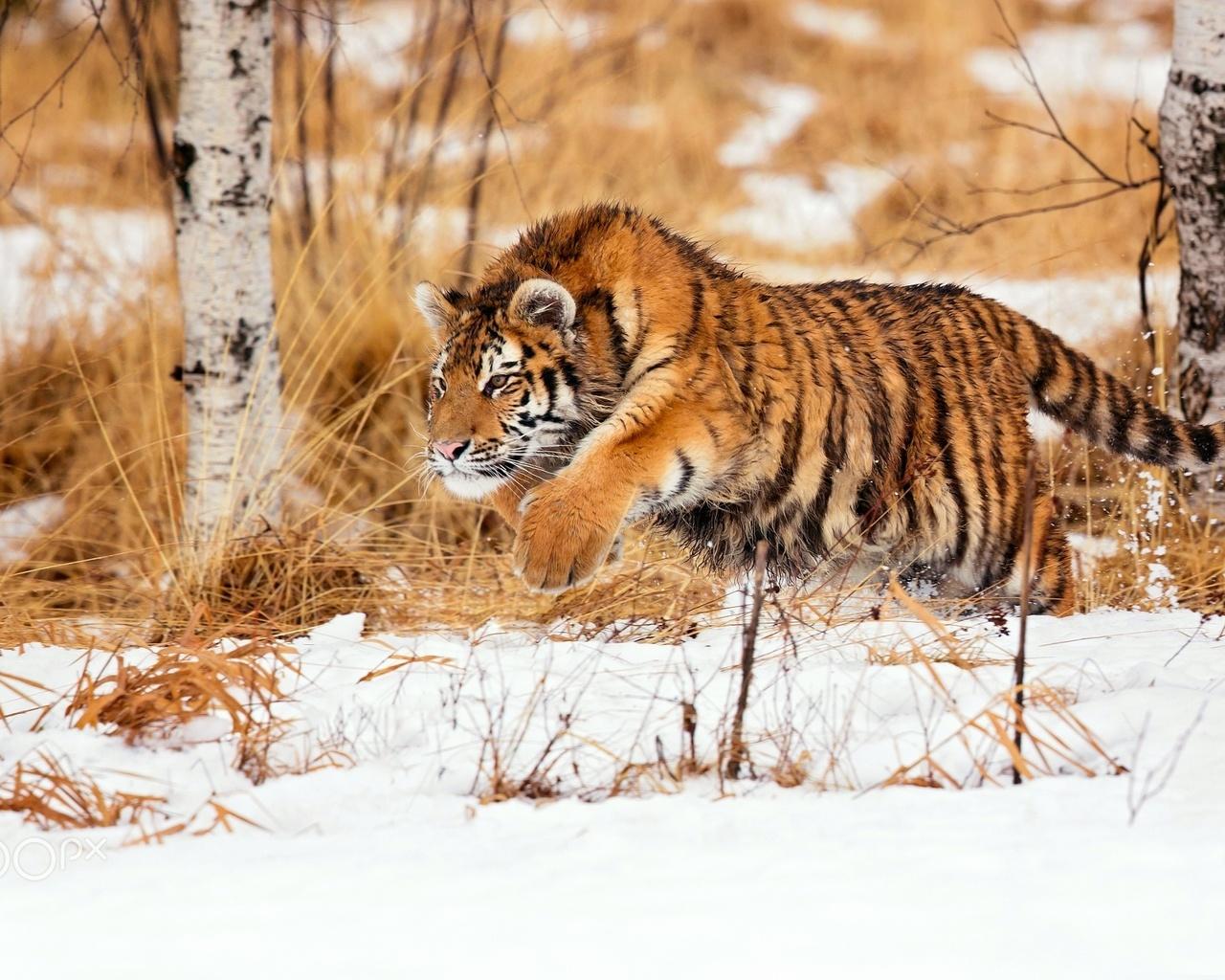 тигр, бег, снег