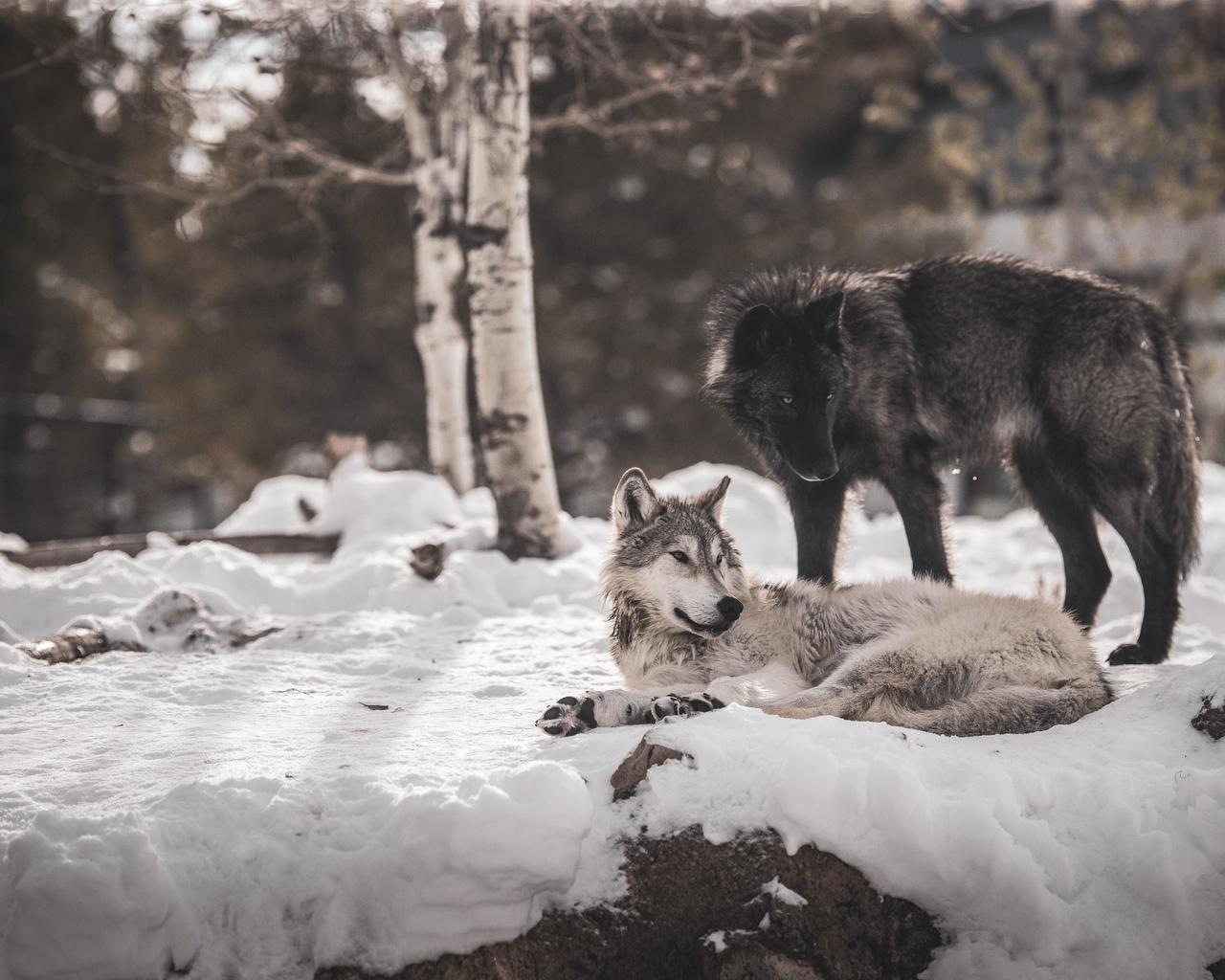 волки, зима, снег
