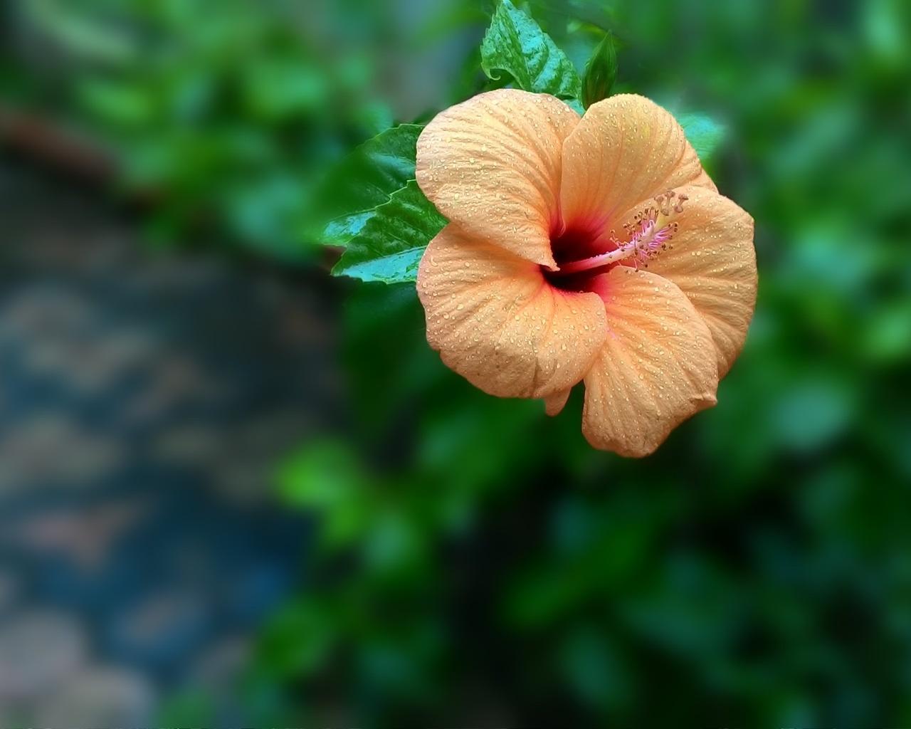 апельсин, цветение, фон