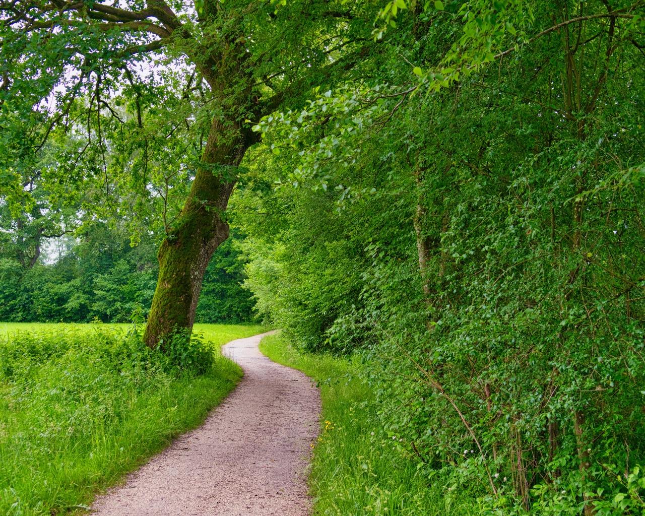 деревья, тропинка, лето