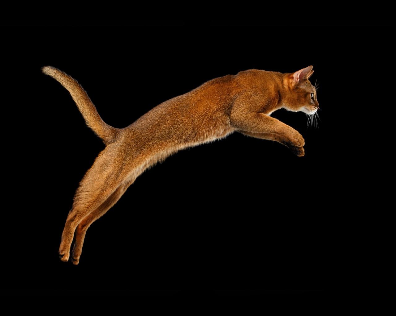 животное, коты, кошка, кот, прыжок