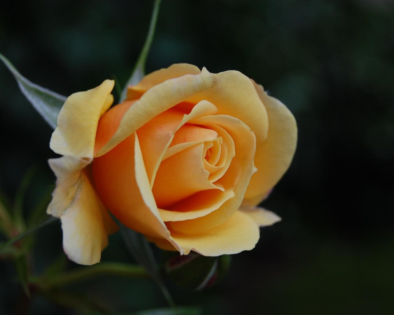 роза, фон, боке