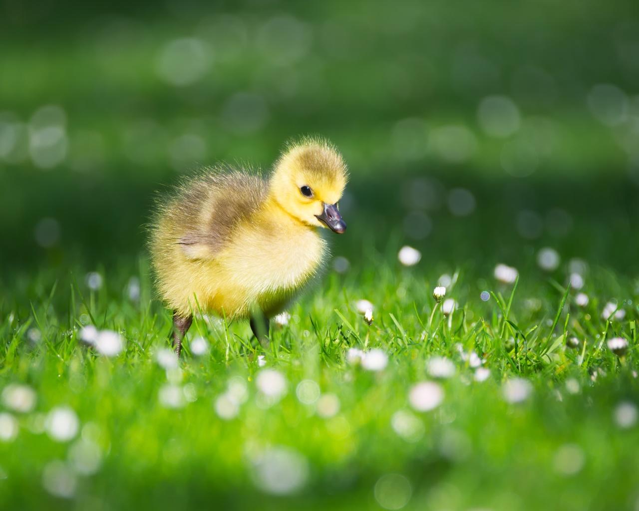 трава, птенцы, гусь