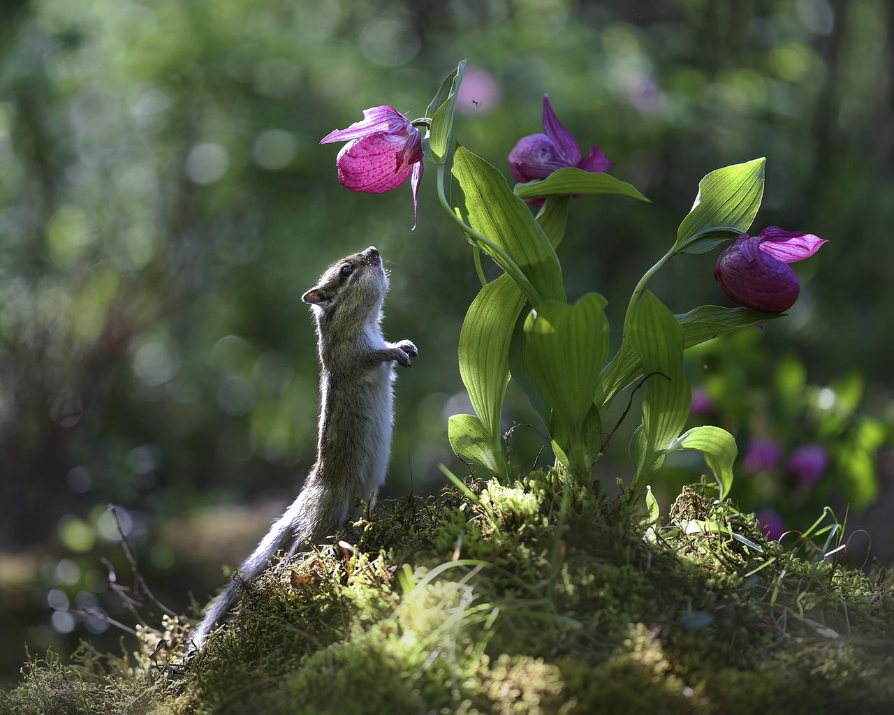 природа, лето, кочка, трава, цветок, зверёк, грызун, бурундук