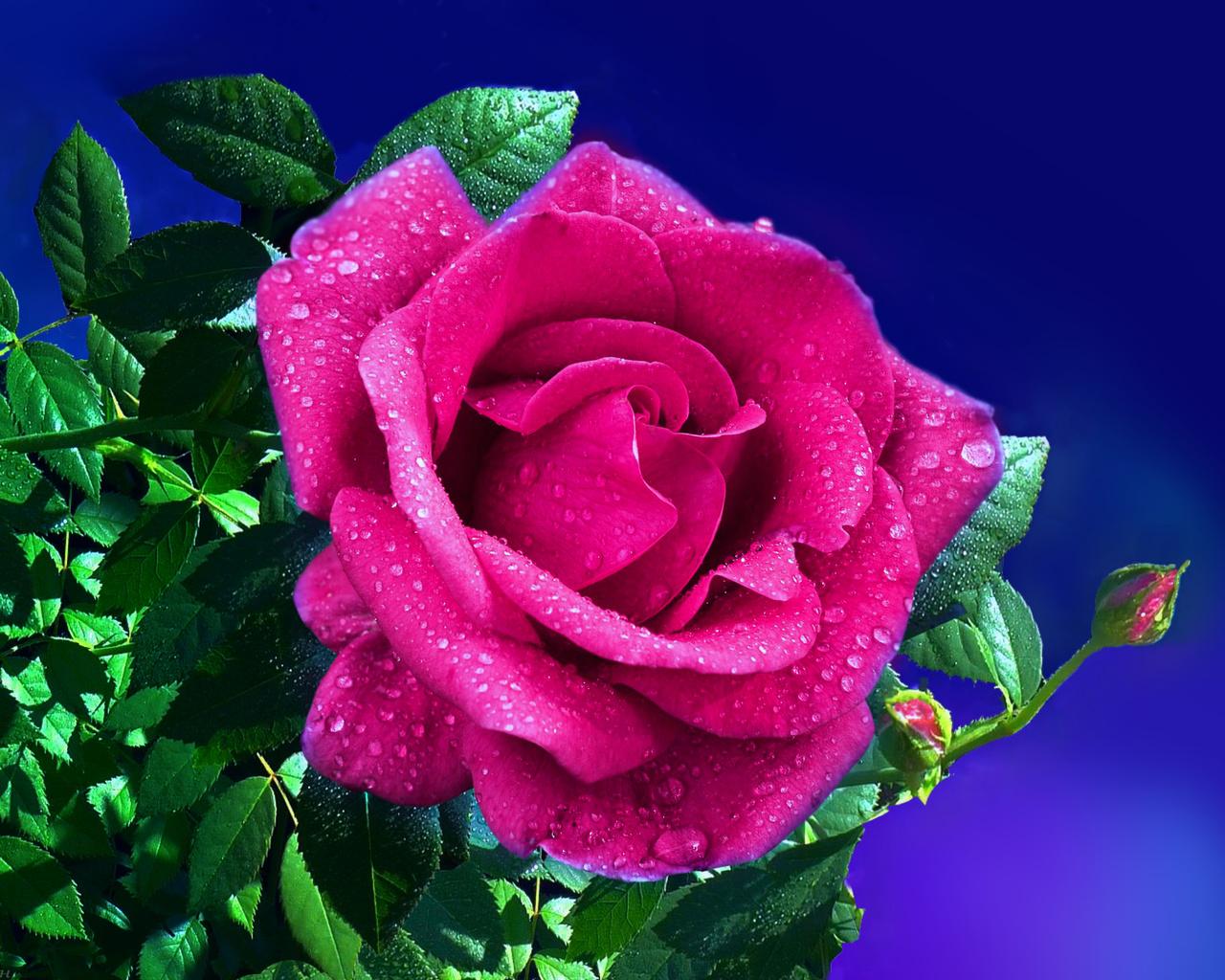 роза, ночь, свет