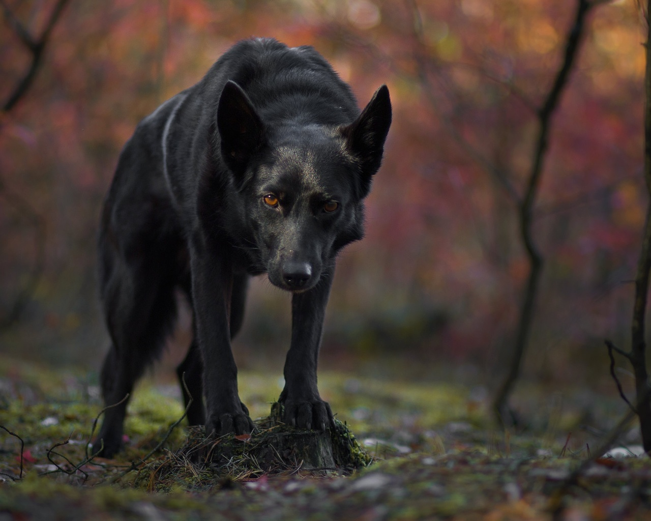 черный, пёс, собака, смотрит