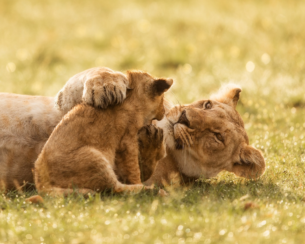 львы, львица, львенок, позитив