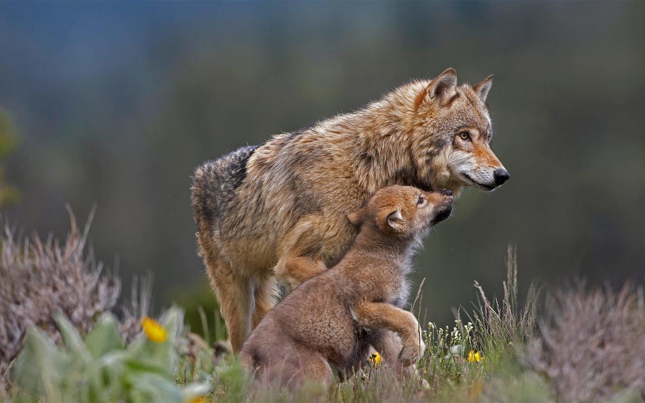 природа, трава, животные, хищники, волчица, волчонок, детёныш