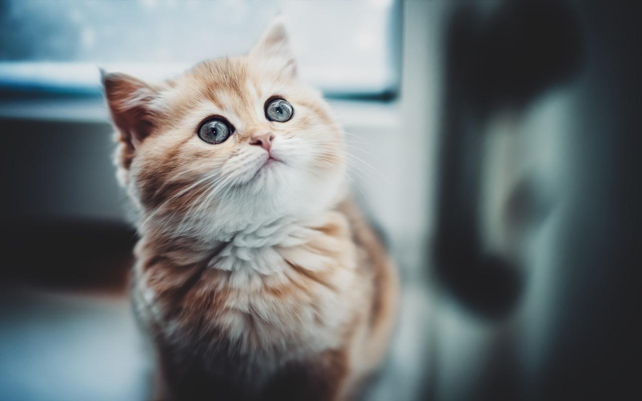 животное, котёнок, детёныш, мордашка, глаза