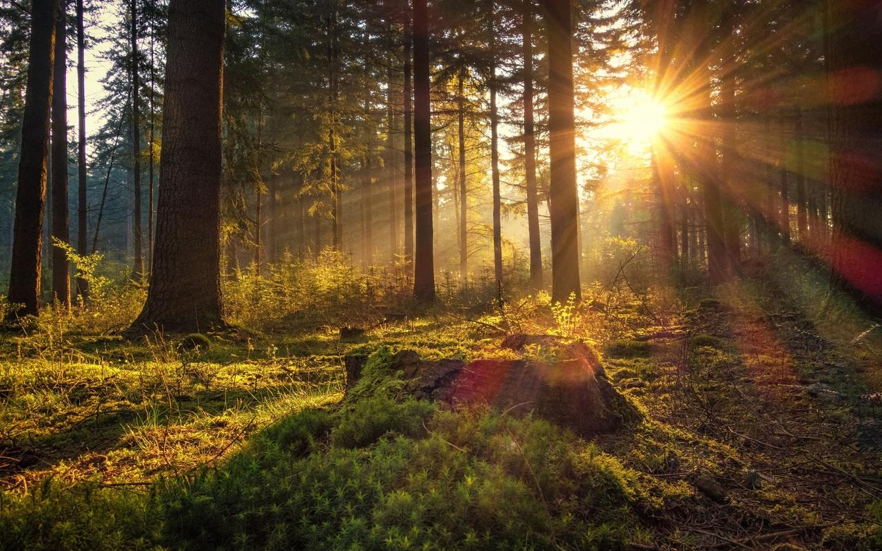 германия, лес, утро, lower saxony, деревья, мох, лучи света, солнце, природа