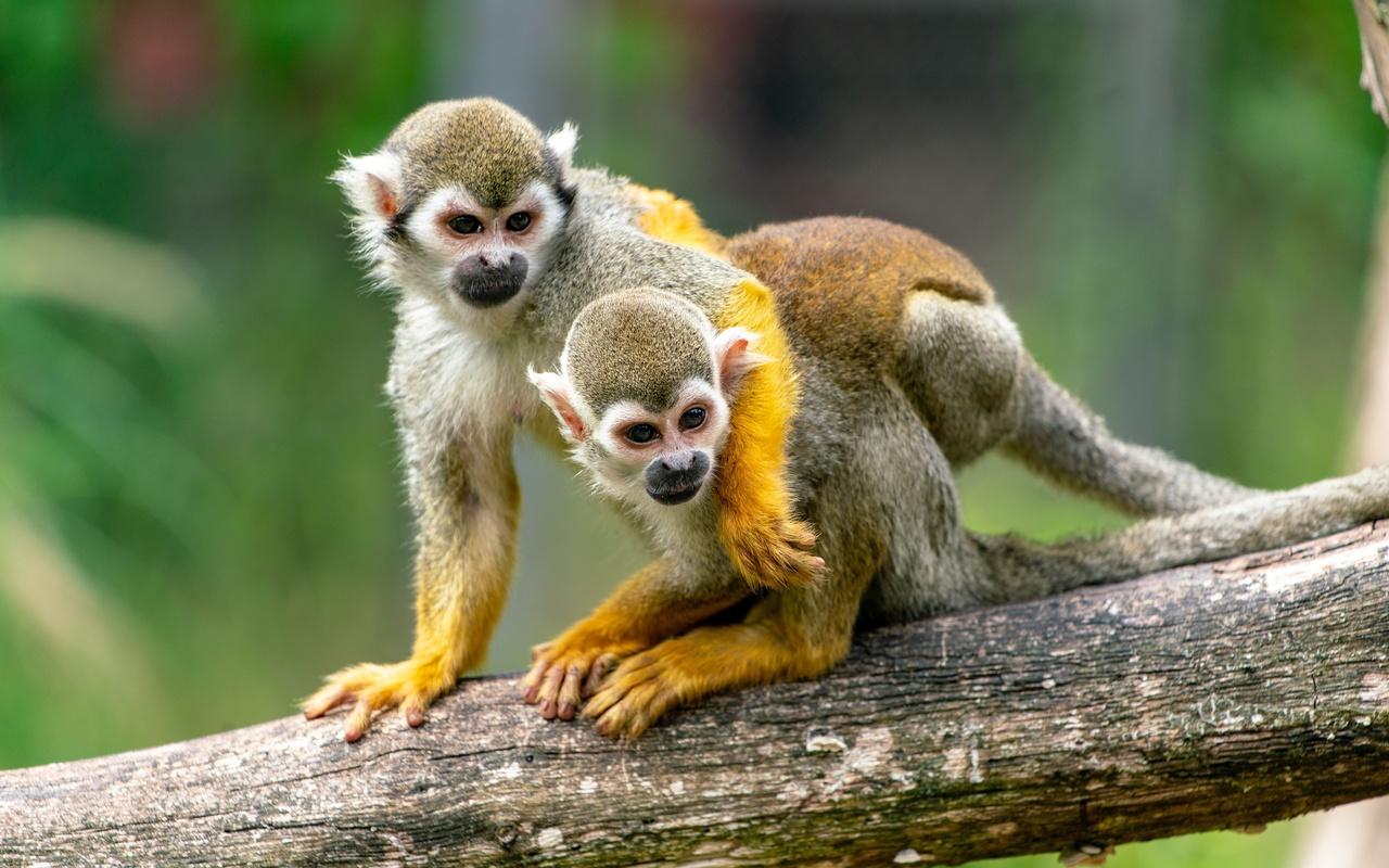 обезьяны, squirrel, monkey, двое, ствол, дерева, объятие, животные