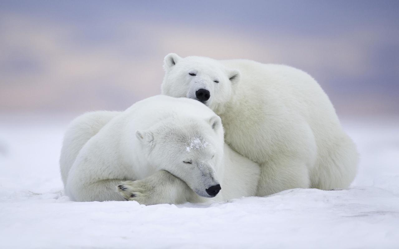 белые медведи, холод, снег