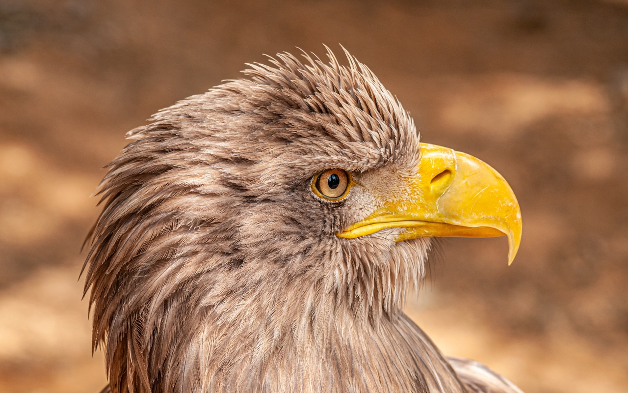 голова, орел, клюв