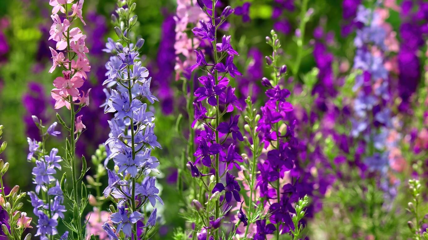 разноцвет, стебли, цветы