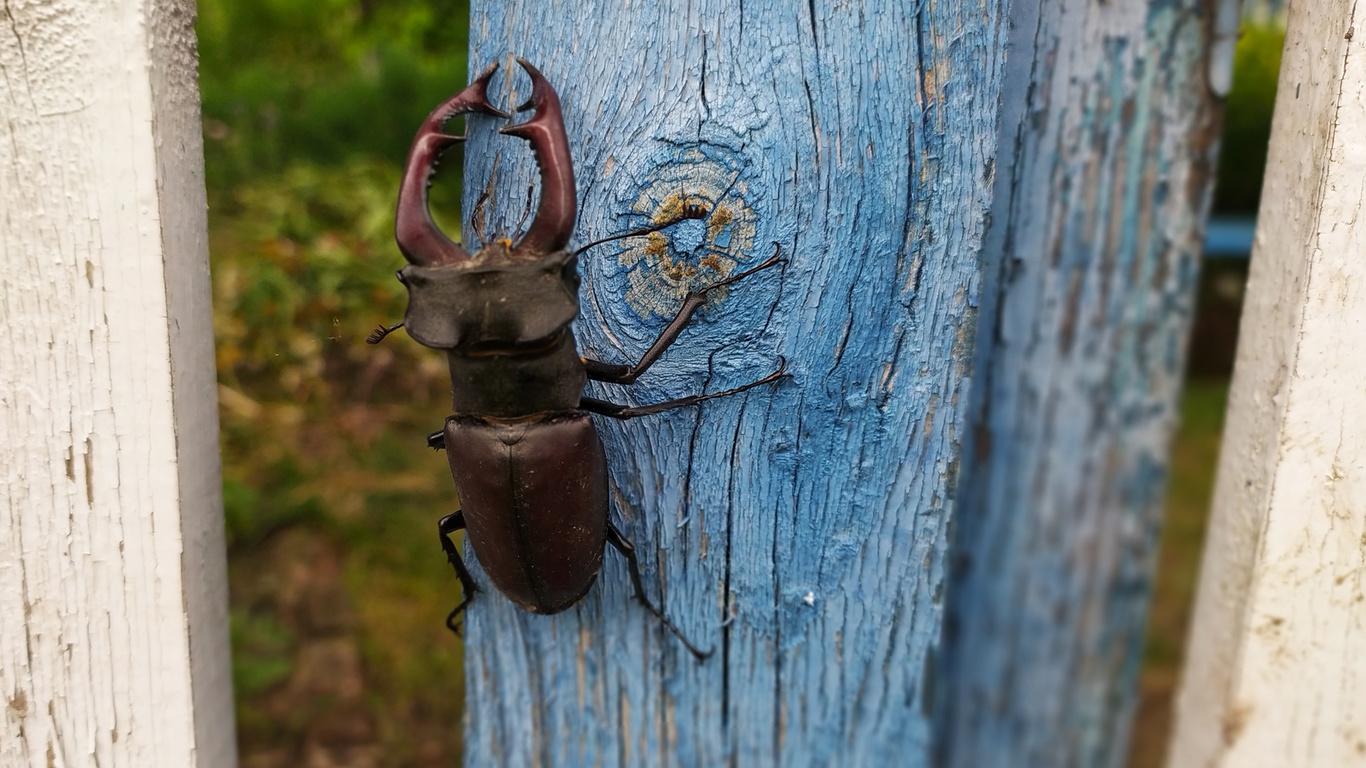 жук, олень, лето, забор
