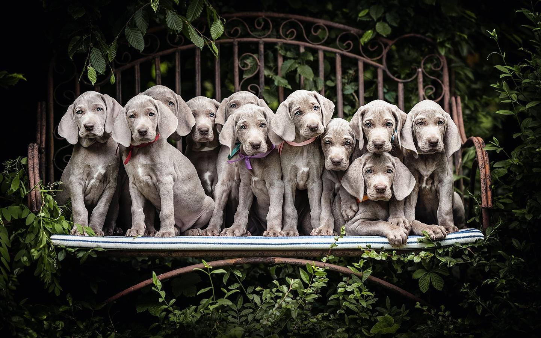 собаки, много, щенок, серый, веймаранер, животные