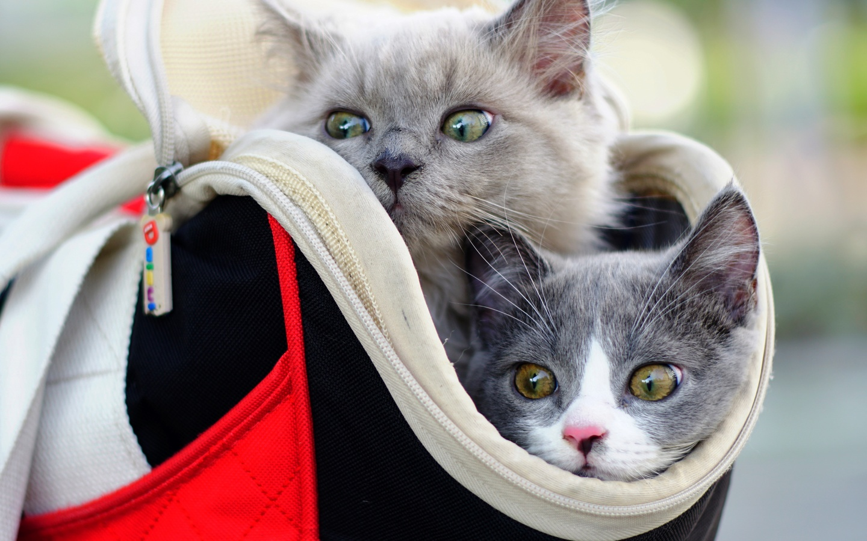 кошки, сумка, двое, голова, морда, серый, взгляд, животные