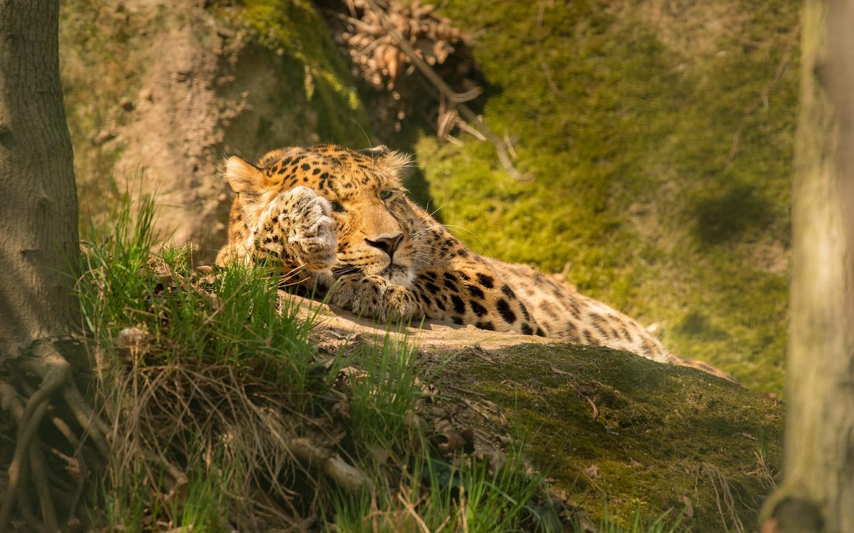 леопард, лежит, отдых, животные