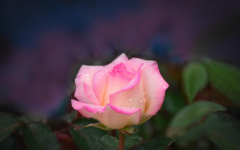 роза, царица, цветов