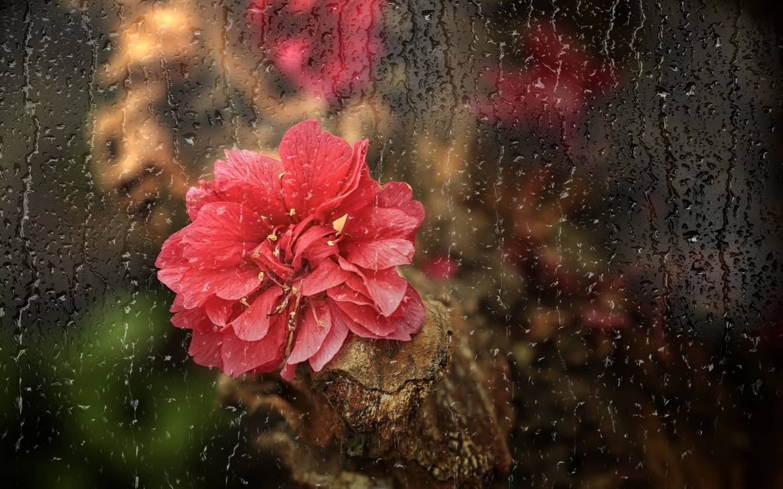 роза, красный, капли