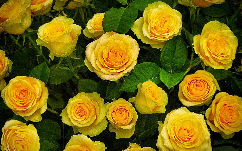 розы, лето, клумба