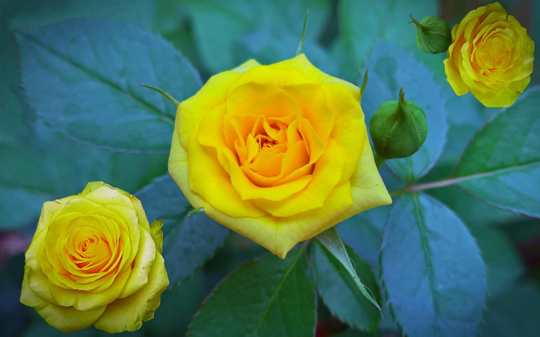желтые, розы, лето