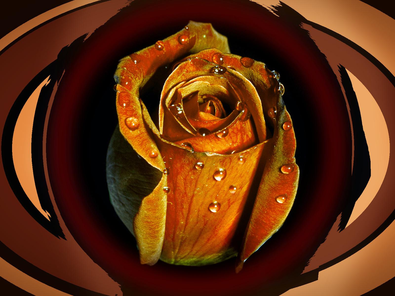 роза, капли, фон