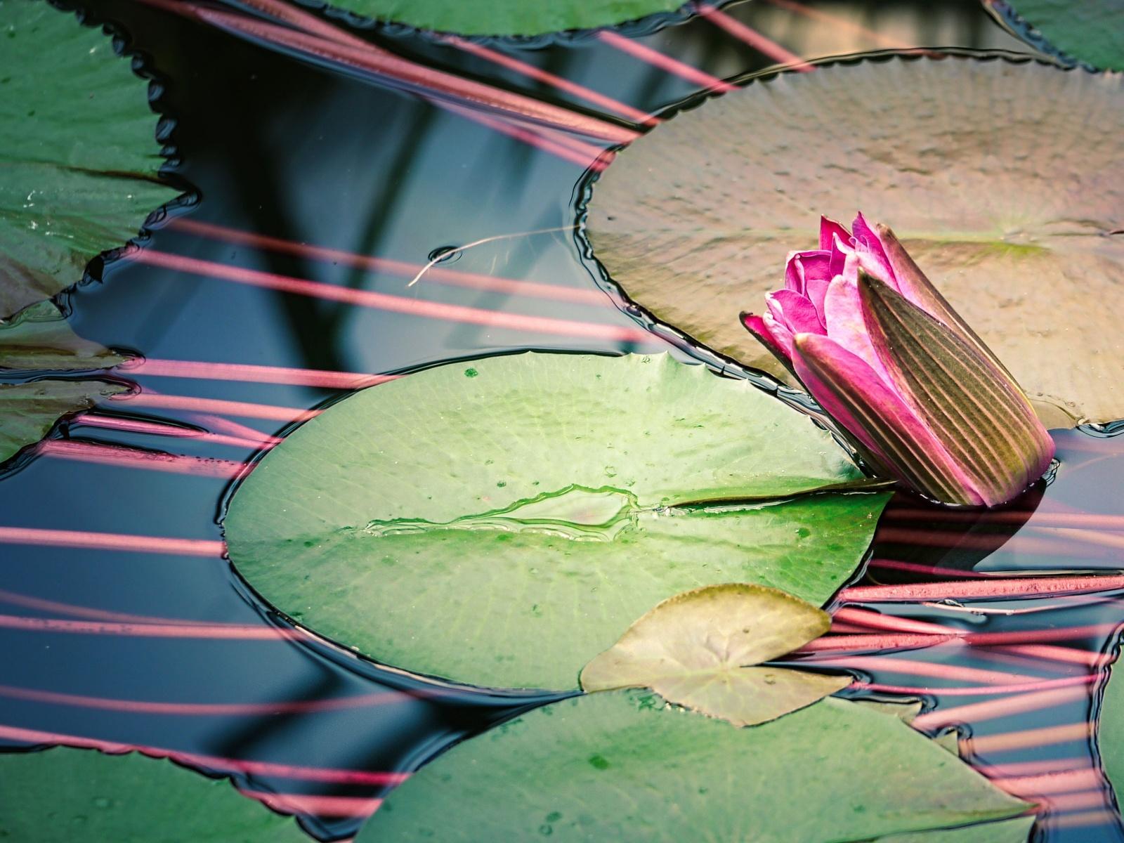 водоём, пруд, водяная лилия, цветок, бутон, флора