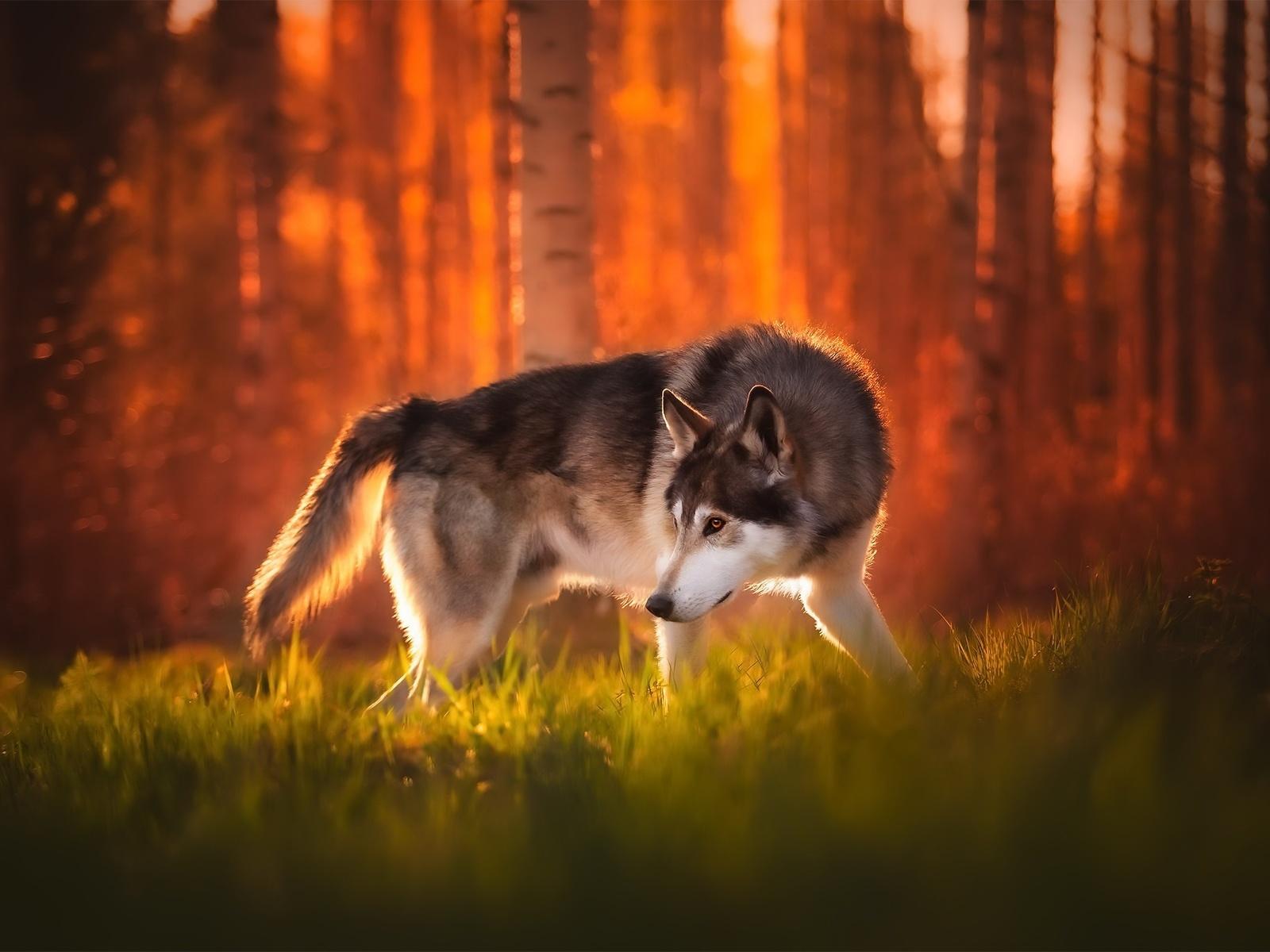 собака, волк