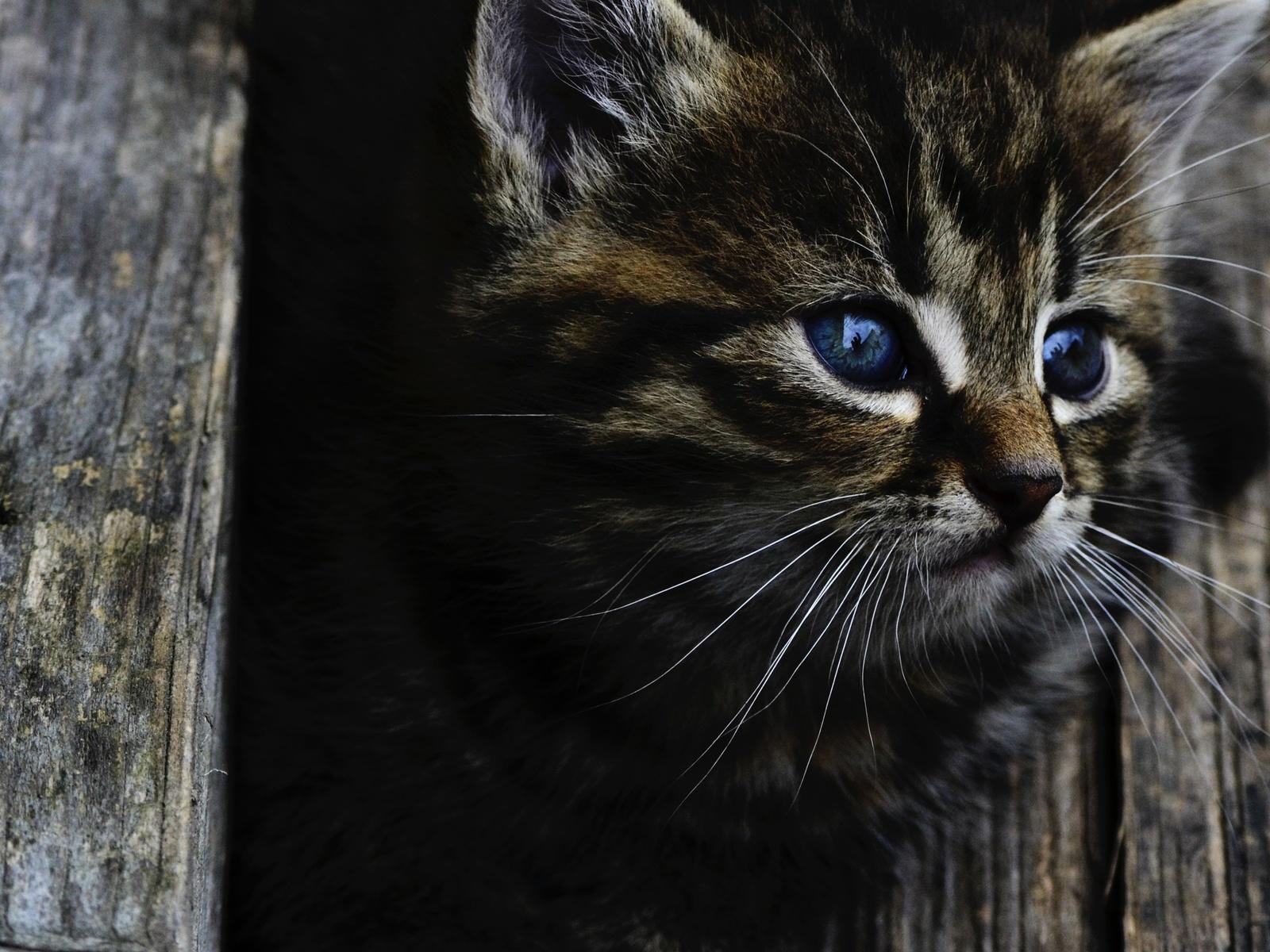 милый серый, котенок, голубые глаза, взгляд, дерево