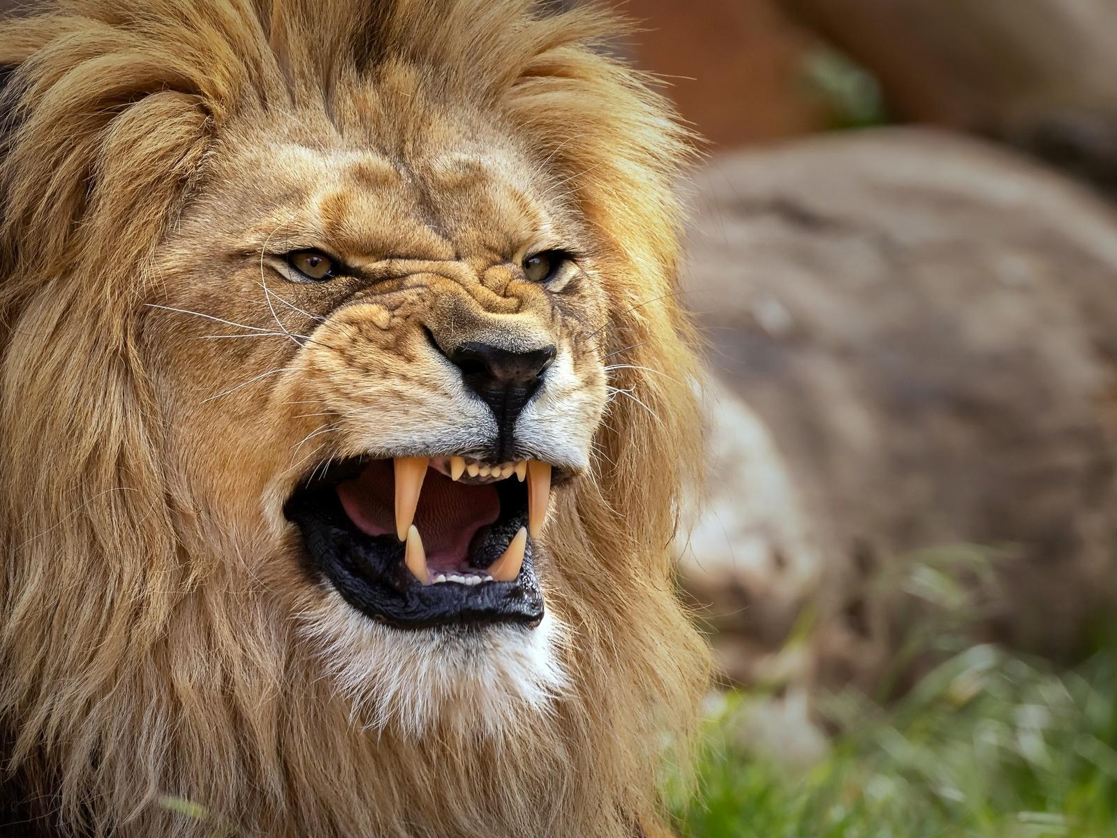 лев, хищник