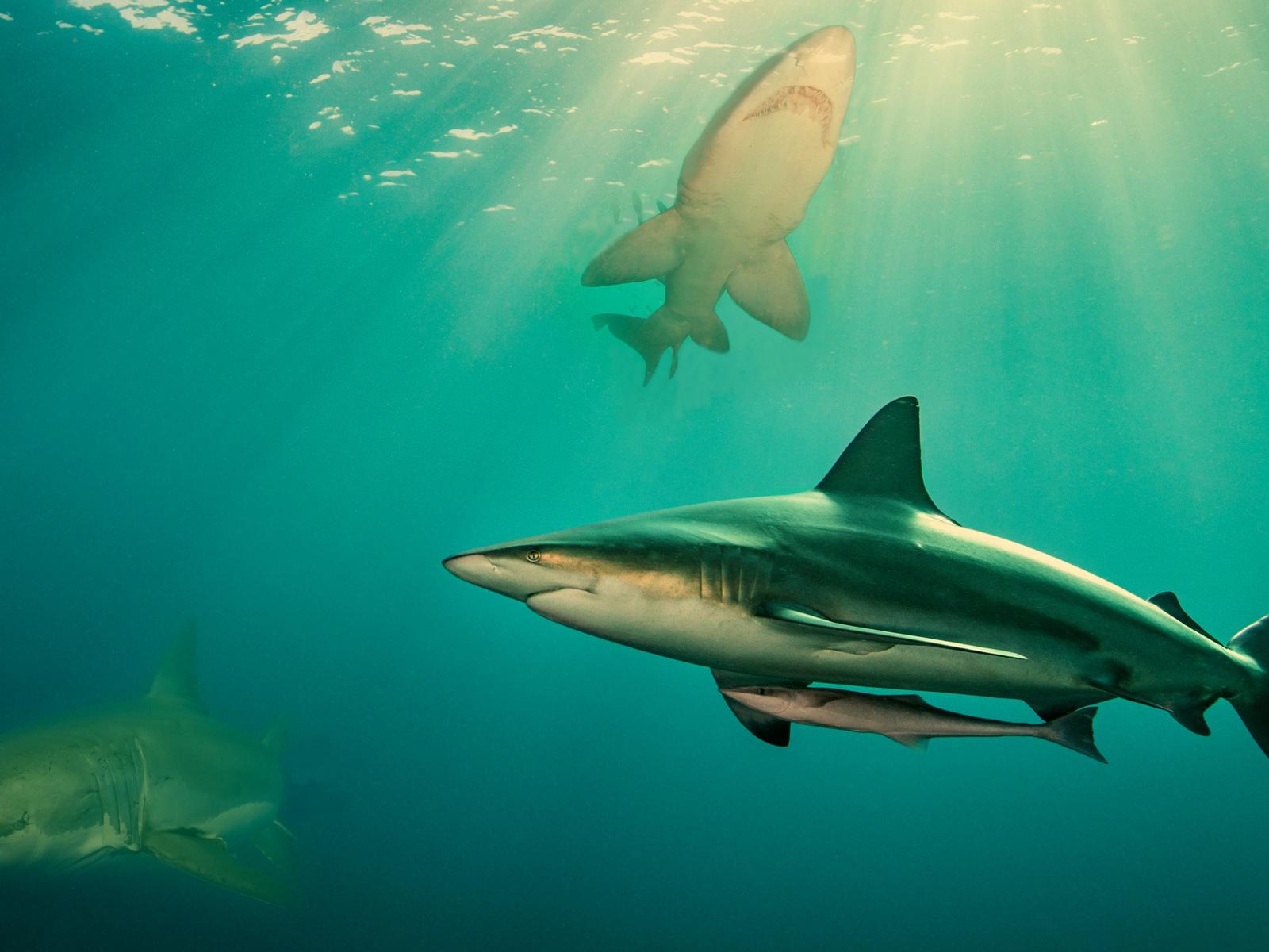 хищники, акулы, океан