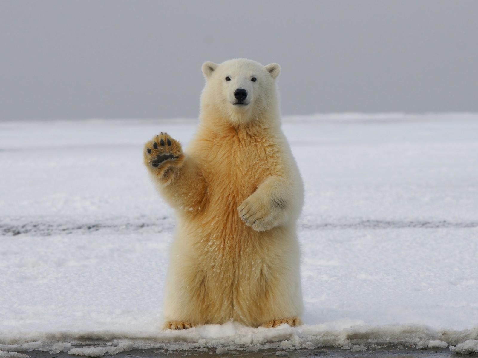 белый медведь, медведь, лапа, прикол