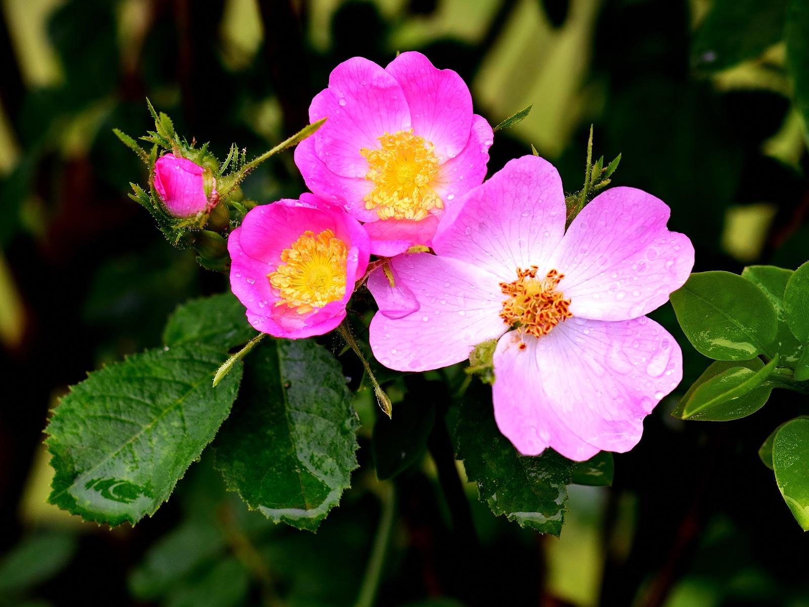 шиповник, розовый, цветок, куст