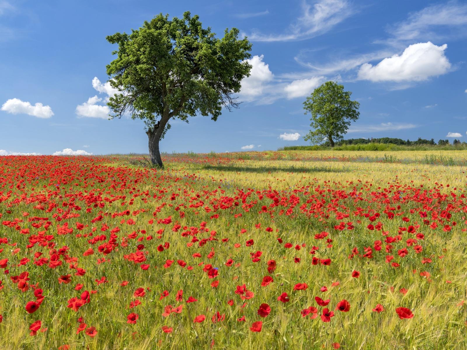 поле, маки, лето, деревья, природа, цветы