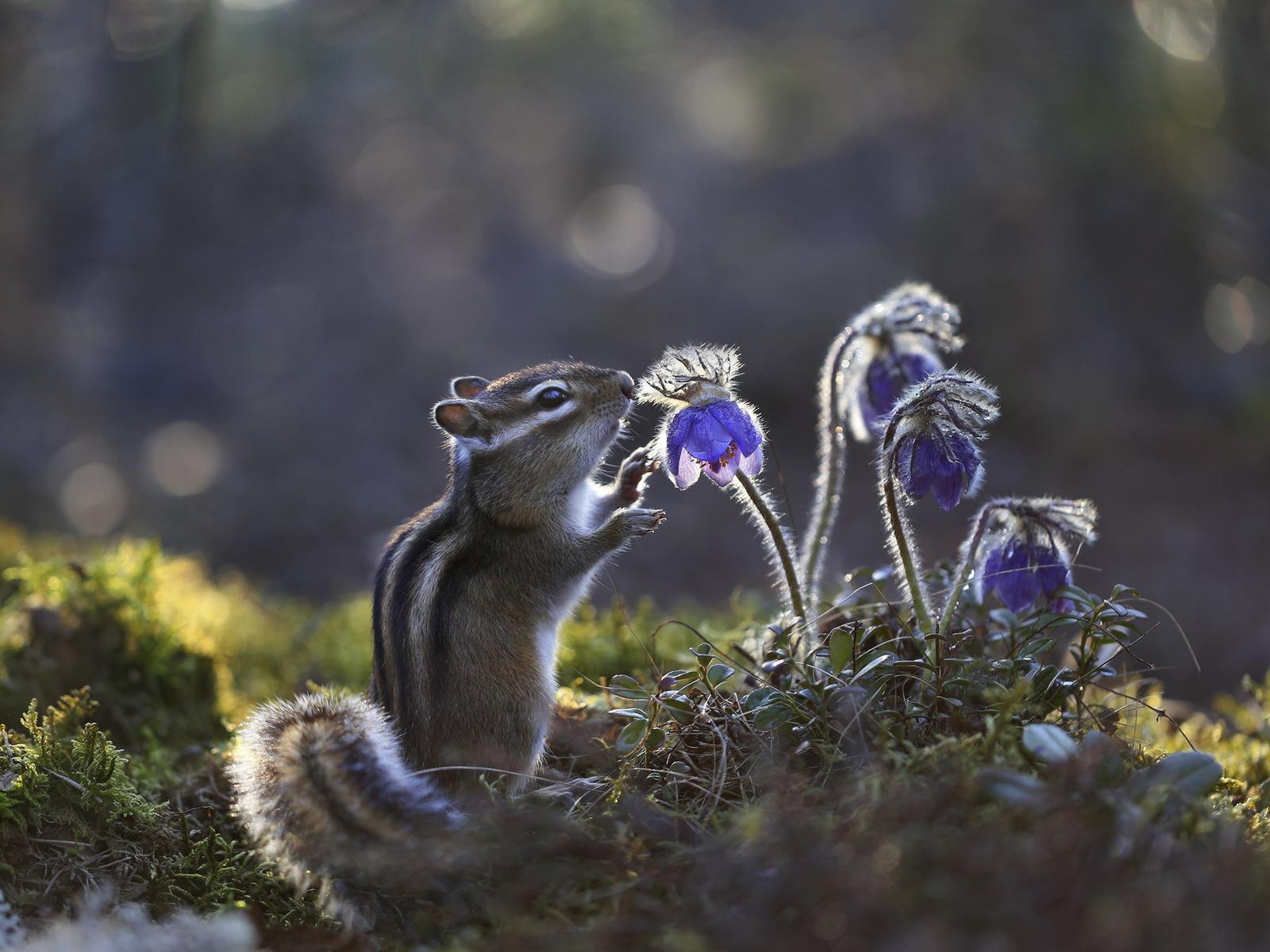 природа, весна, первоцветы, прострел, зверёк, бурундук, грызун, сон-трава, боке